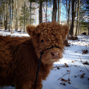 highland cows