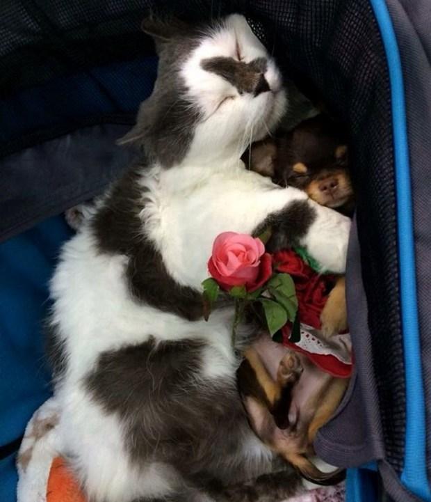 cat adopts puppies