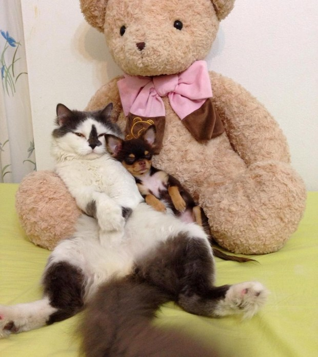 cat adopts puppies
