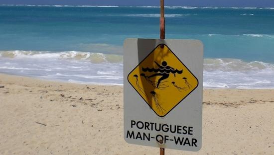 portuguese man o' war