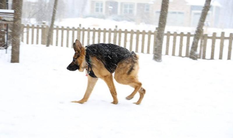 short pine dog