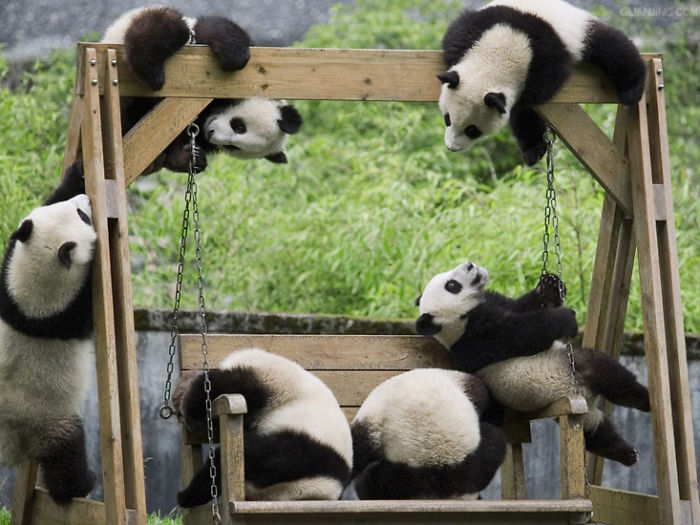 This Daycare In China Is The Home Of Baby Pandas And It