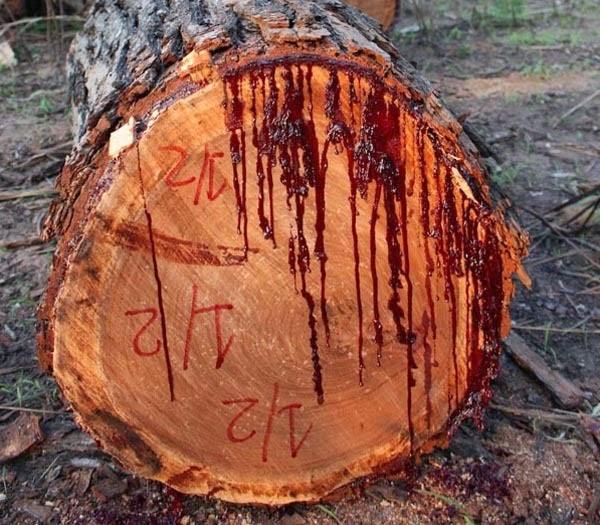 bleeding tree