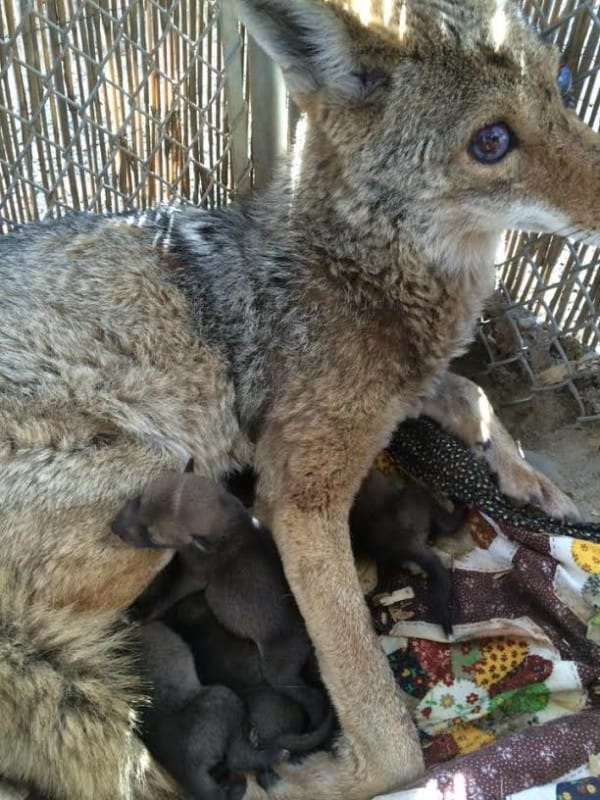 blind pregnant coyote