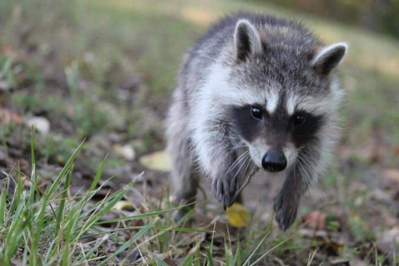 cat helps raccoon