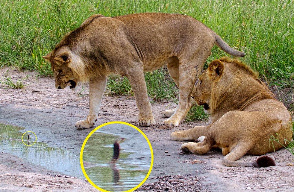 lion meets baby cobra
