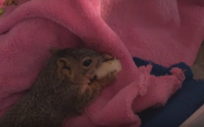 man saves baby squirrels