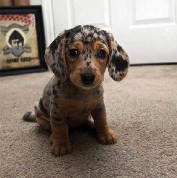 dogs with beautiful markings 3