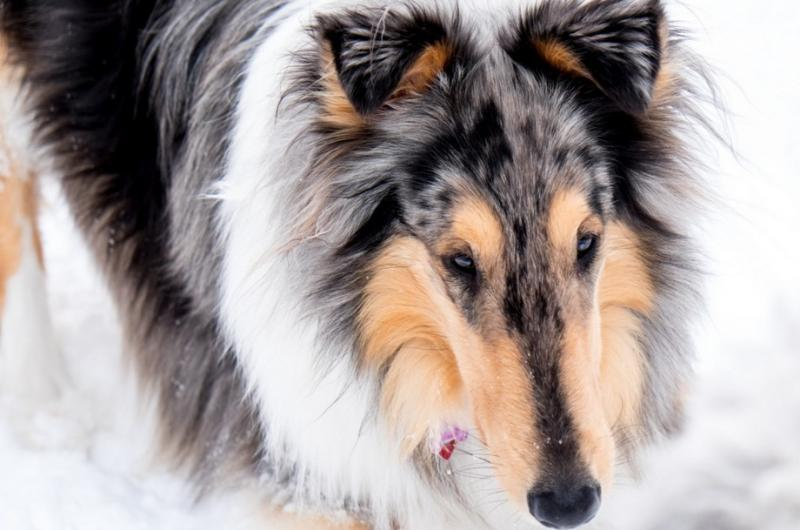 dogs with beautiful markings 4