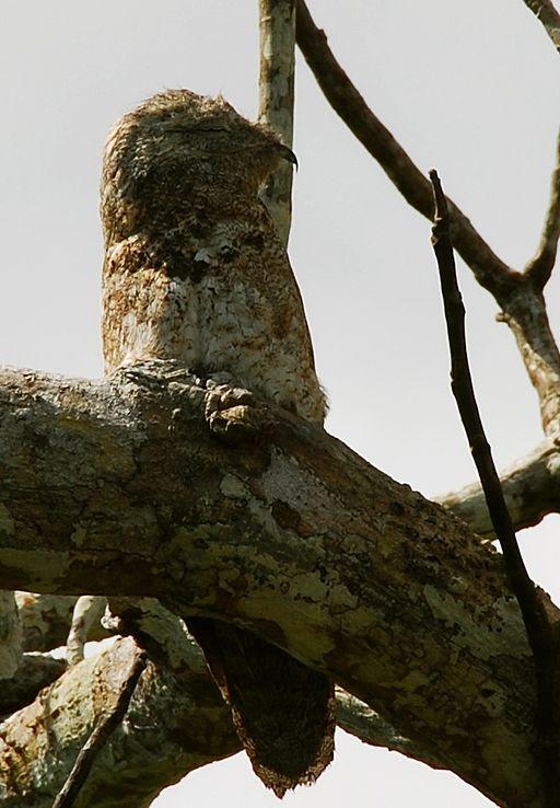 strange bird Potoo 1