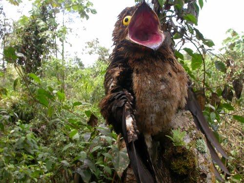 strange bird Potoo 4