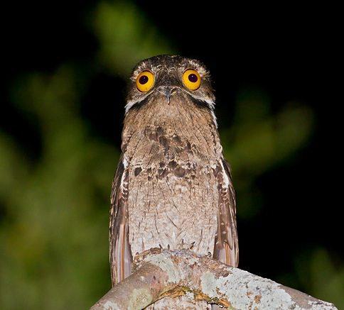 strange bird Potoo 6