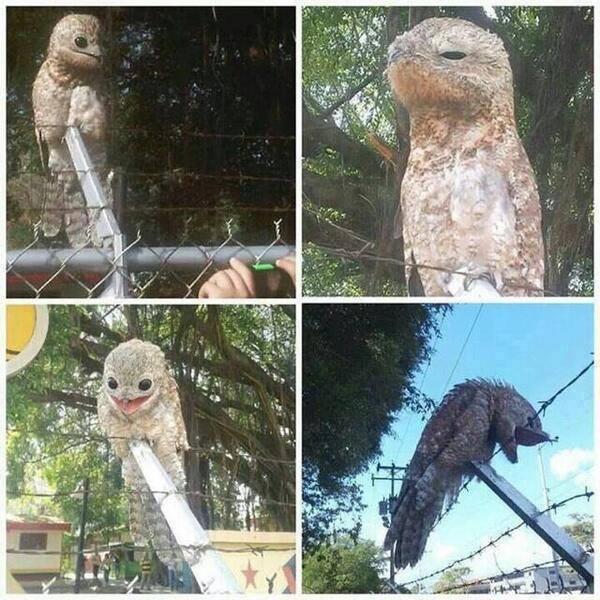 strange bird Potoo 7