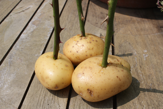 plant roses in potatoes 4