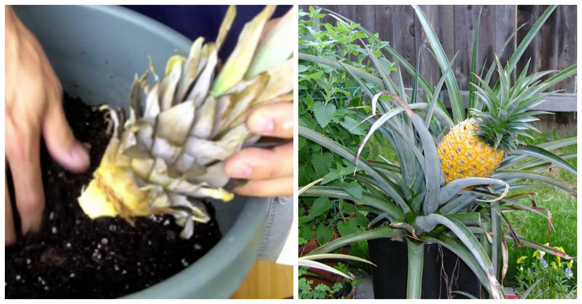 Grow your own pineapple plants simply by slicing the top for How to plant a pineapple top in a pot