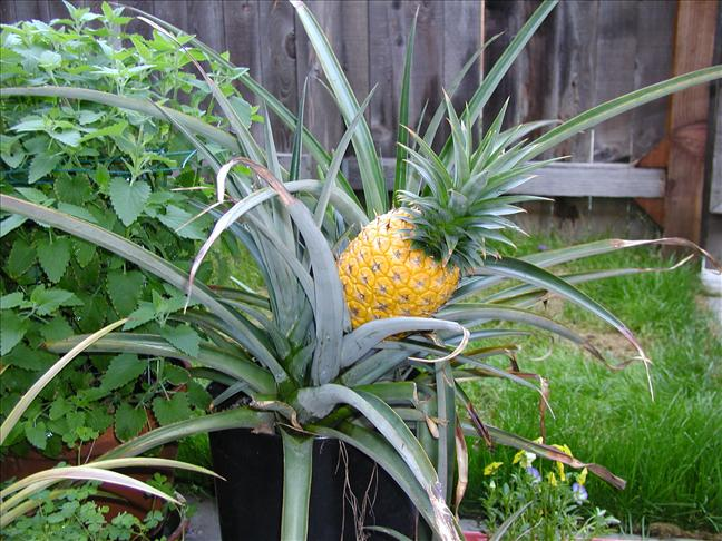 Grow a pineapple4