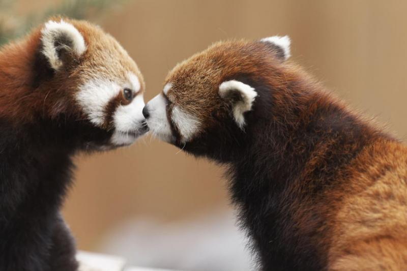 animals kissing 11