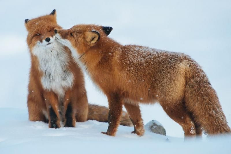animals kissing 2