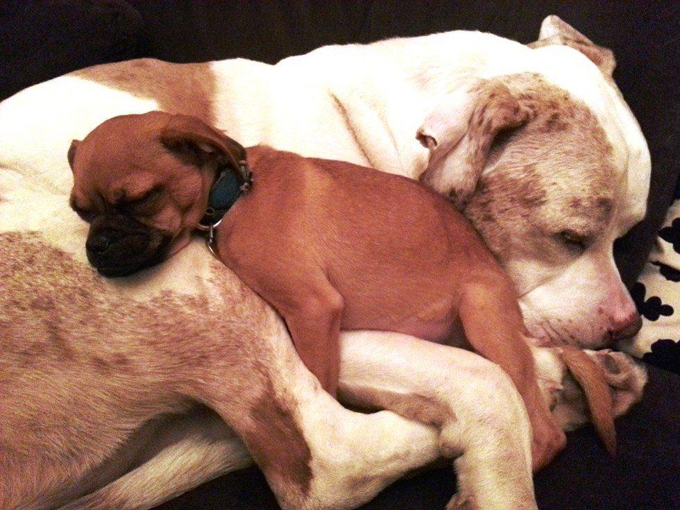 Huge dog comforts animals3