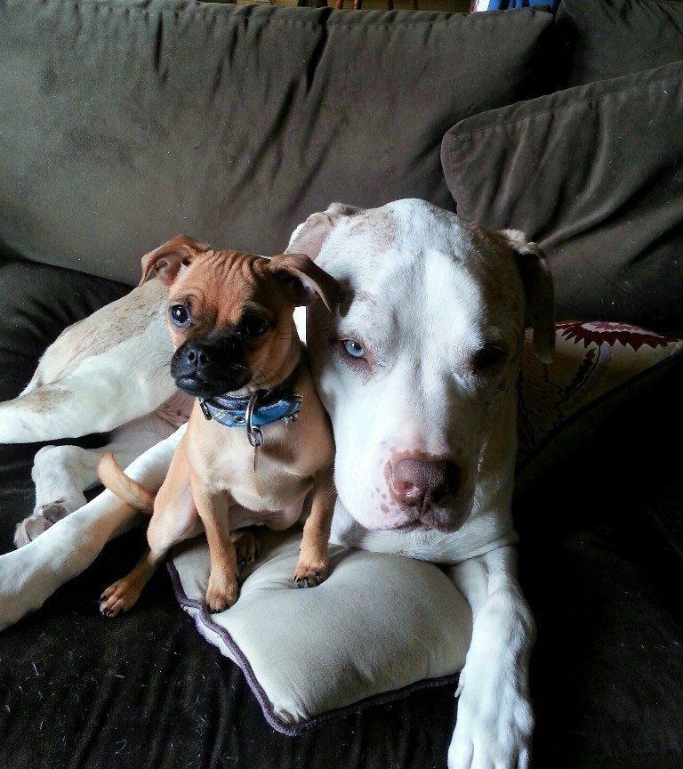 Huge dog comforts animals4
