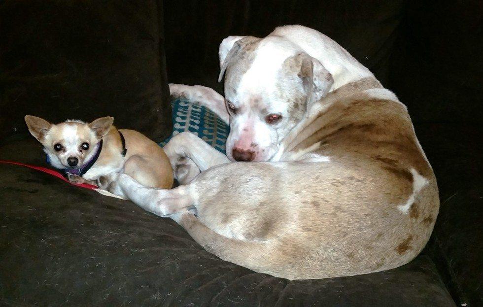 Huge dog comforts animals6