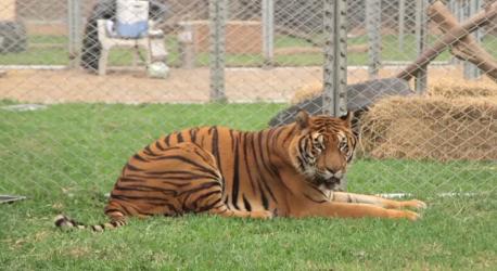 Life of a tiger3