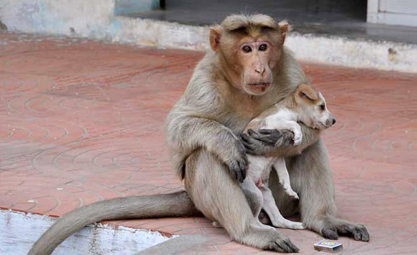 Monkey adopt dog1