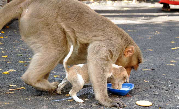 Monkey adopt dog2