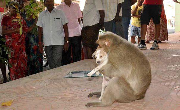 Monkey adopt dog3