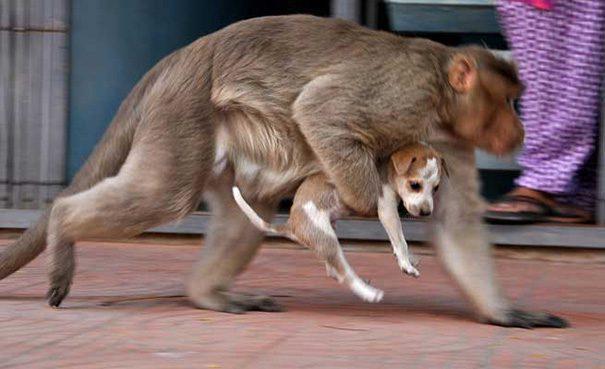 Monkey adopt dog5