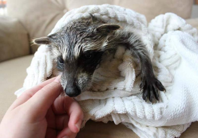 Saved injured raccoon1