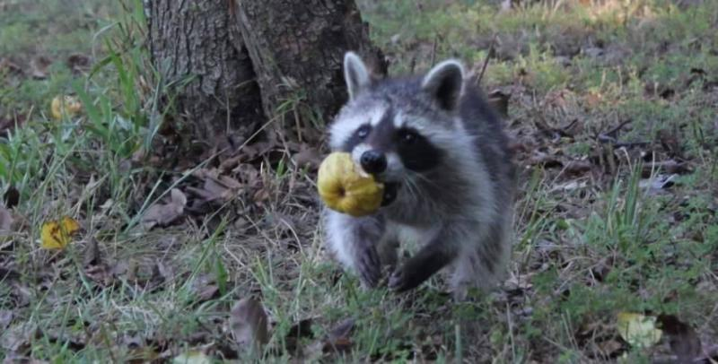 Saved injured raccoon10