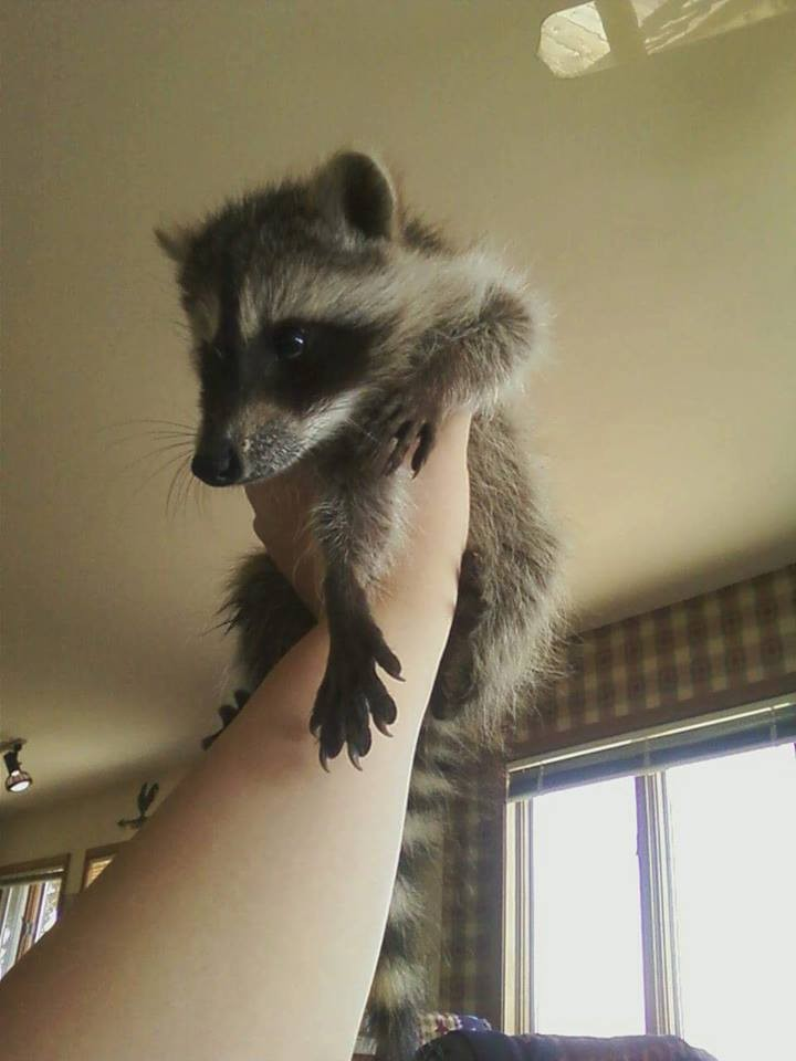 Saved injured raccoon2