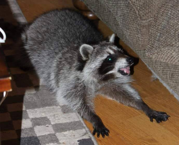Saved injured raccoon5