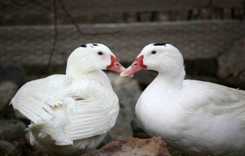 lucky duck1