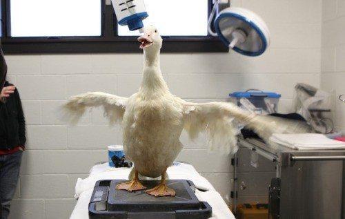 lucky duck10