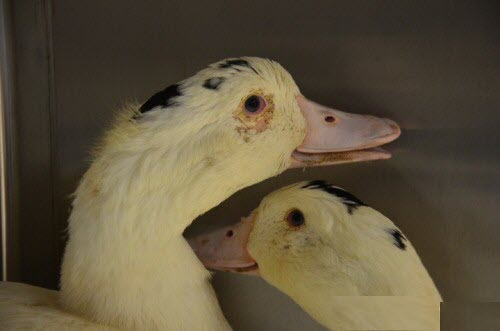 lucky duck4
