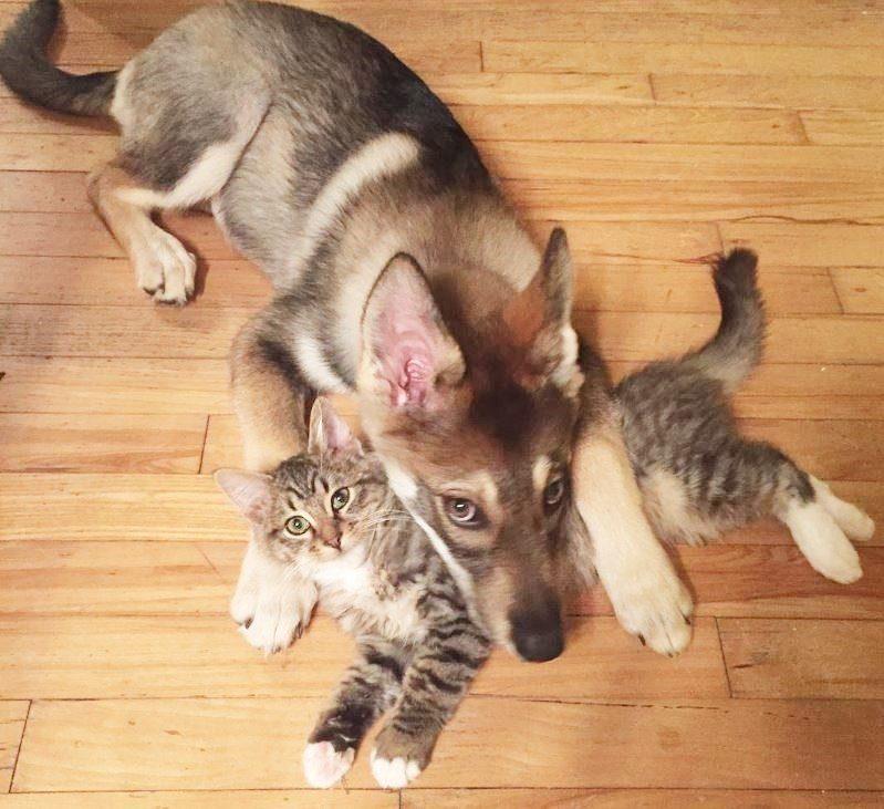 dog-adopts-shelter-kitten3