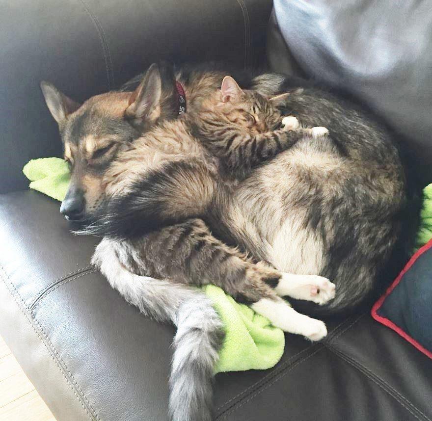 dog-adopts-shelter-kitten4