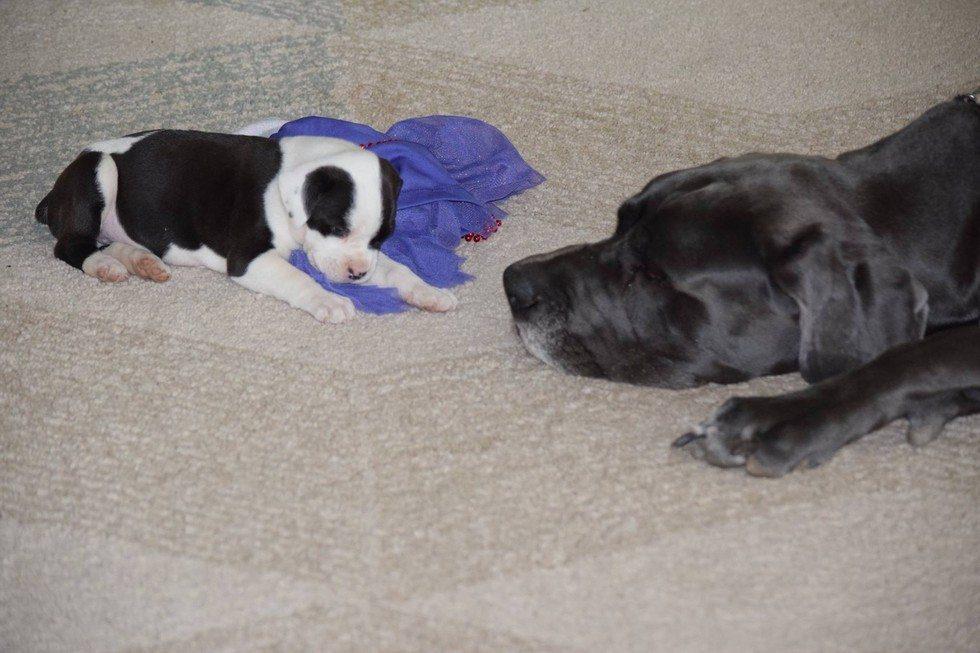 dog-helps-foster-puppy2