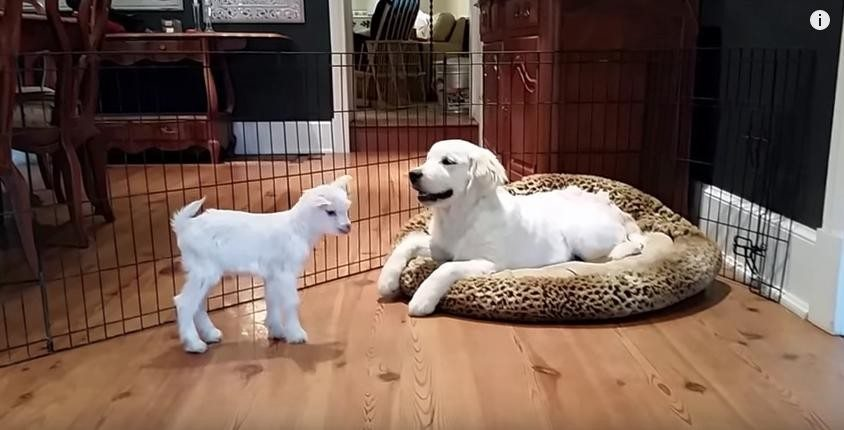 baby-goat-meets-puppy1