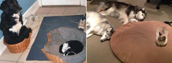 cat steals dog bed