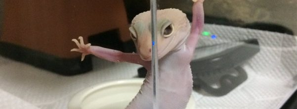photogenic gecko