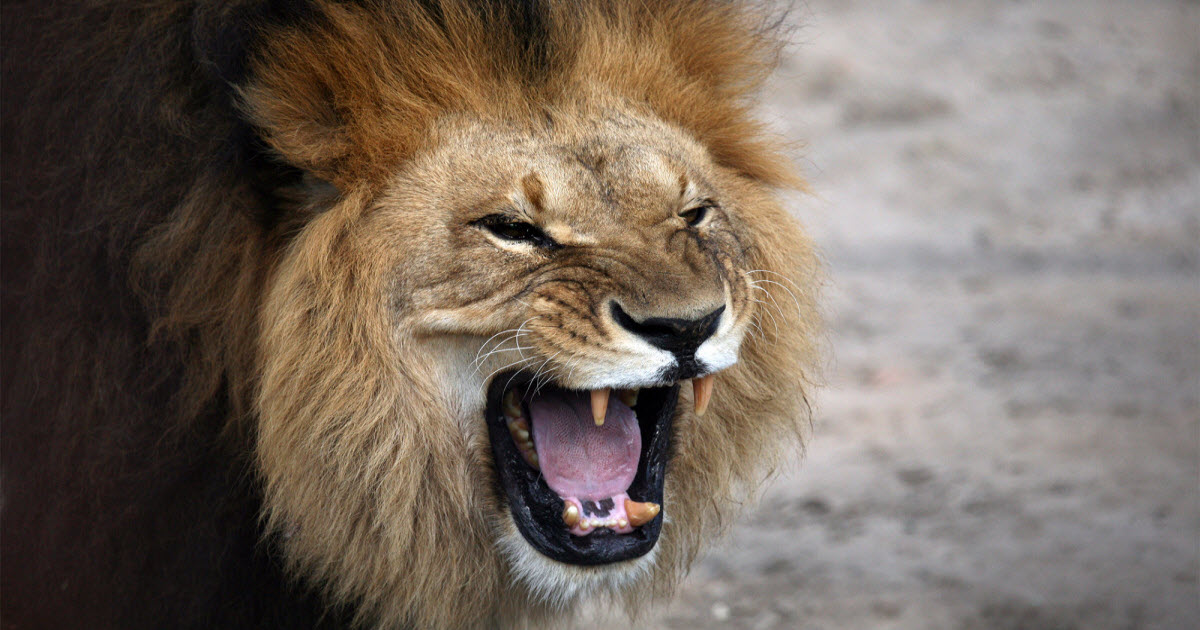 karma strikes poacher when pack of lions he was hunting