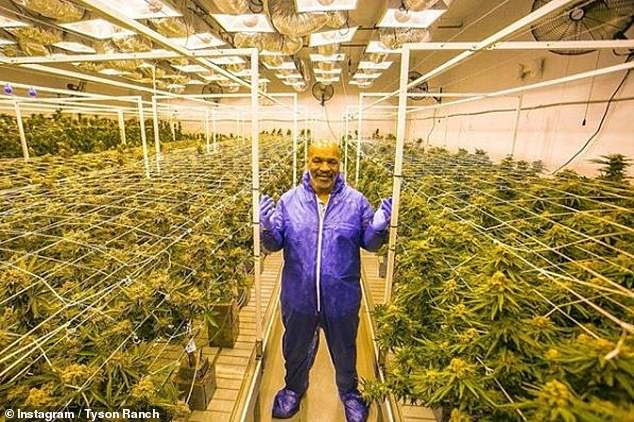 mike tyson cannabis vacation ranch